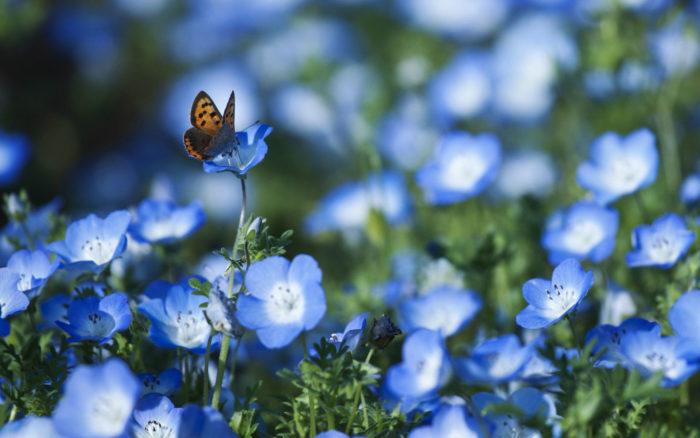 Wyraźny obiekt: motylek siedzący na niebieskim kwiatku; rozmyte tło - pole niebieskich kwiatków